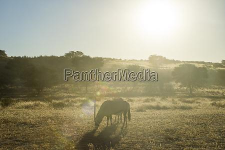 south africa kalahari transfrontier park gemsboks