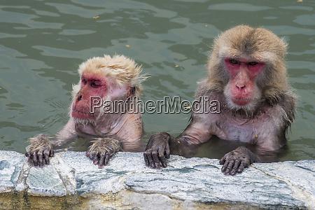 hokkaido hake rothartig makak im wasser