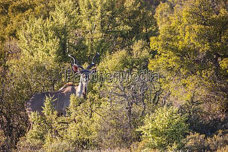 south africa rooiberg greater kudu tragelaphus