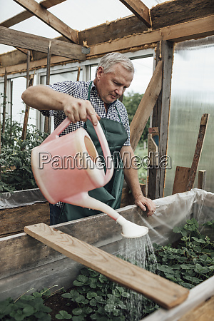 mature man gardener in greenhouse watering