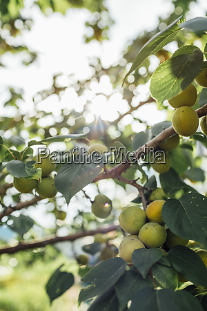 fruit tree against the sun