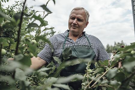 gardener looking at apple tree in
