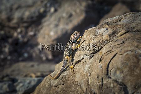 single collared lizard on rock green