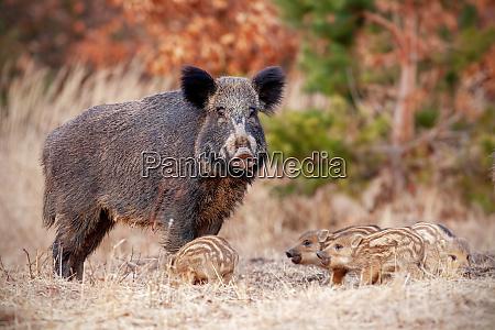 wildschweinfamilie in der natur mit sau