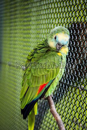 portraet eines yellowstar ararauna papagai