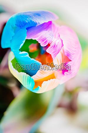 nahaufnahme der bunten tulpe