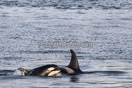 mother and calf killer whale orcinus