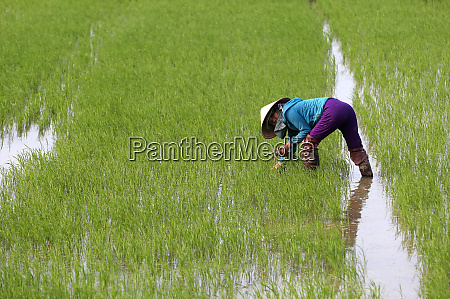 vietnamese farmer working in her rice