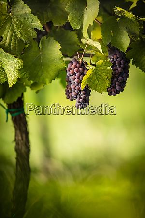 grosse trauben aus rotwein haengen von