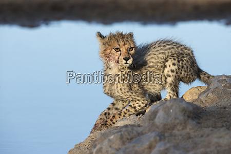 gepard acinonyx jubatus cub kgalagadi transfrontier
