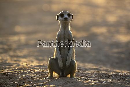 meerkat suricata suricatta kgalagadi transfrontier park