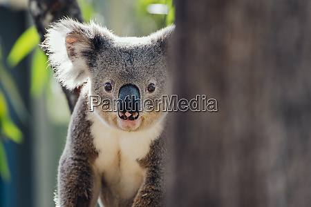 australia queensland portrait of koala