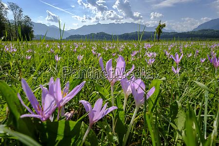 germany bavaria murnauer moos meadow saffron