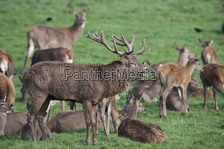 england red deers cervus elaphus