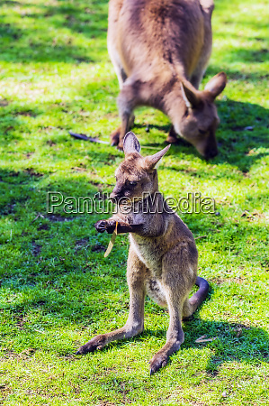 australia young kangaroo mother animal in