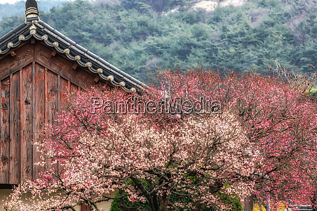 tongdosa tempel und pflaume blossom