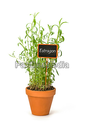 tarragon in a clay pot with