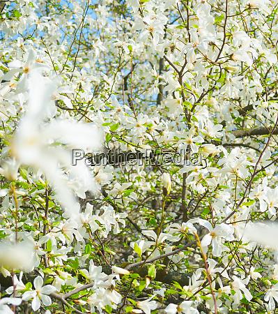 weisse blueten magnolienbaumblueten