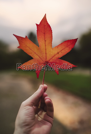 mans hand holding red autumn leaf
