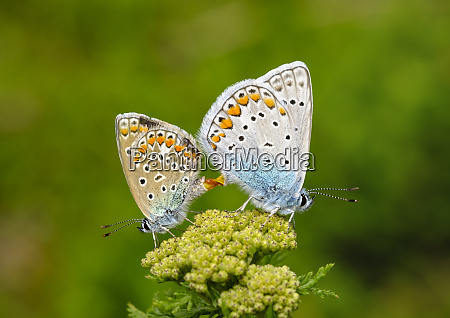 albania valbona national park common blue