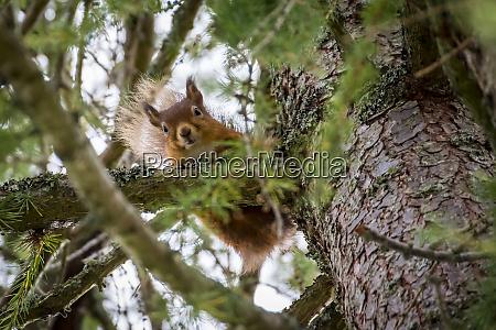 scotland red squirrel sciurus vulgaris