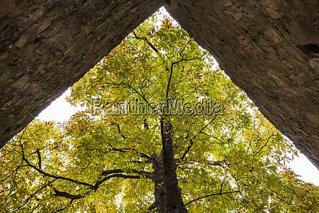 alter kastanienbaum auf schloss alzenau deutschland