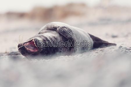 young atlantic harbor seal helgoland deutschland