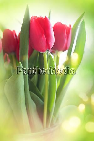 tulpen auf hellgruenem hintergrund