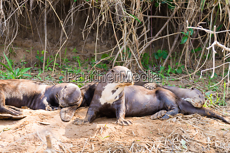 riesenotter aus pantanal brasilien