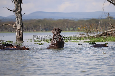 hippos in lake naivasha in kenya