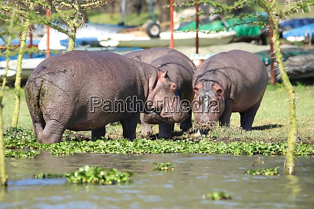 hippos which standing very close to
