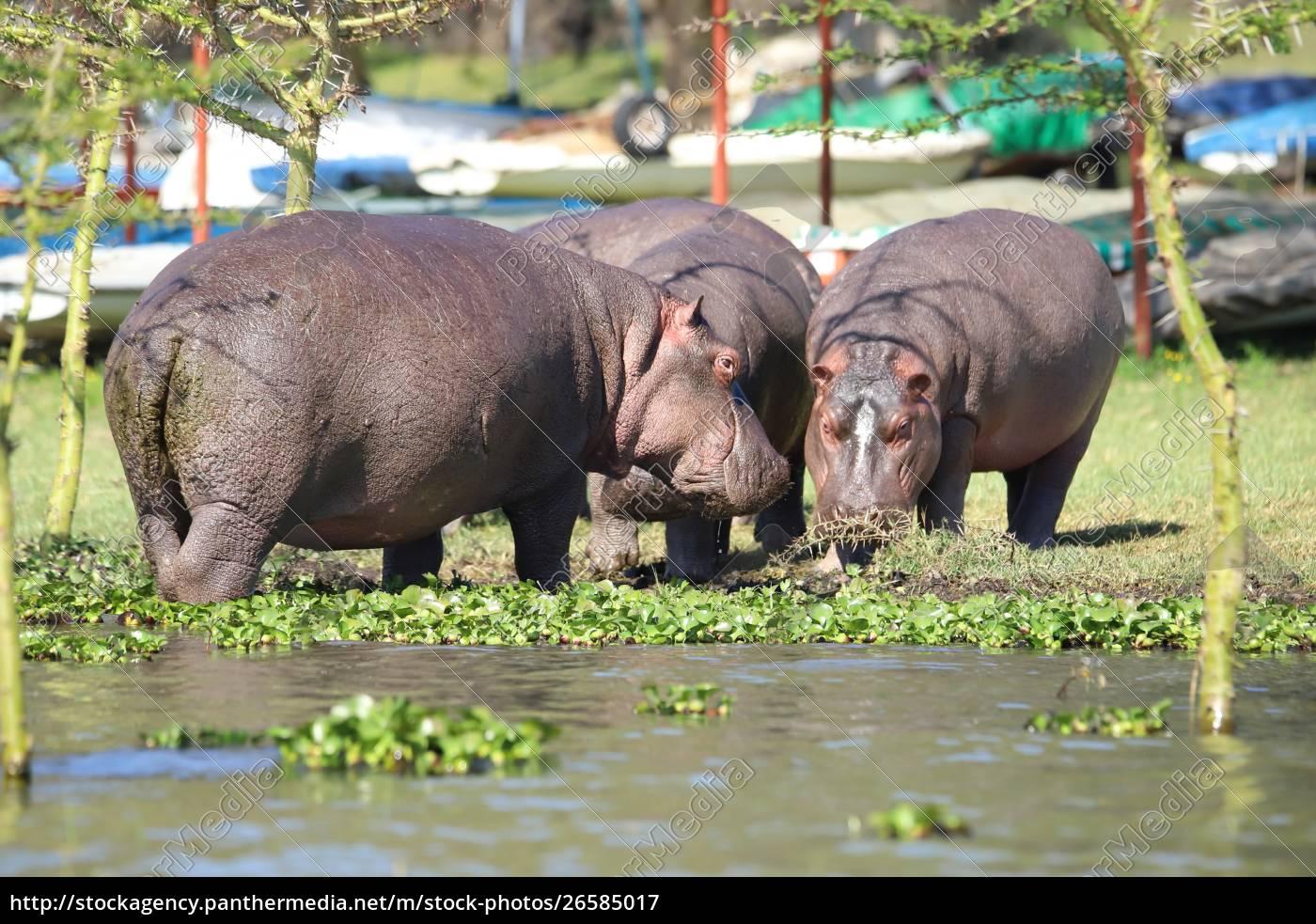 hippos, die, ganz, in, der, nähe, eines - 26585017