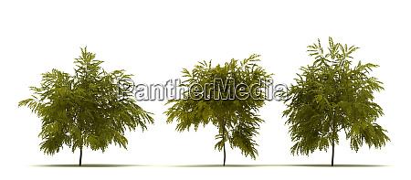 single robinia pseudoacacia baum