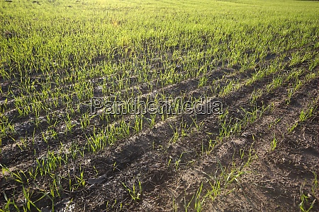 agricultural field with plants