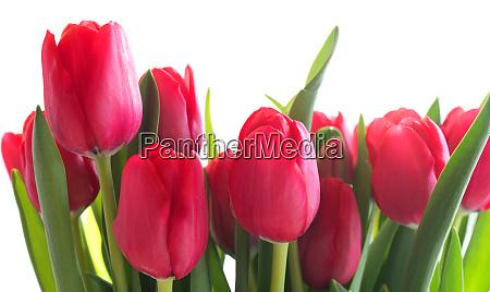 rote tulpen auf hellem hintergrund