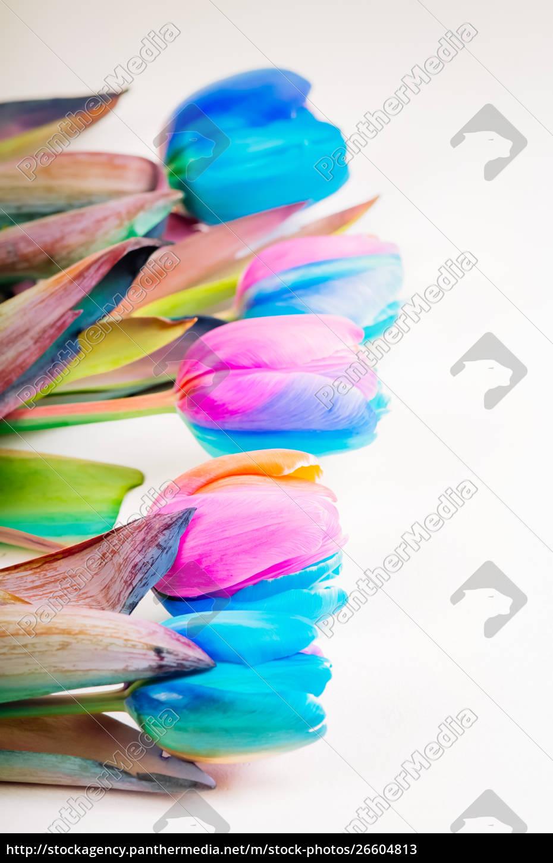 vertikales, schießen, von, mehrfarbigen, tulpen - 26604813