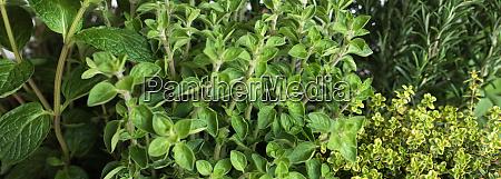 fresh culinary herbs