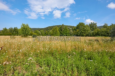 meadow in summer with plants growing