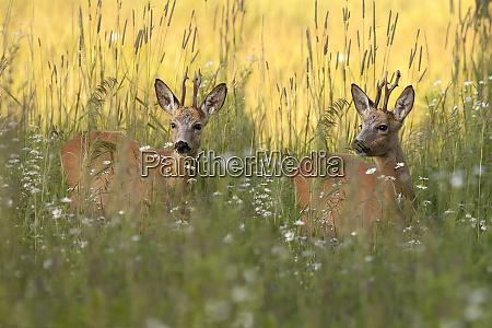 buck deers in a clearing