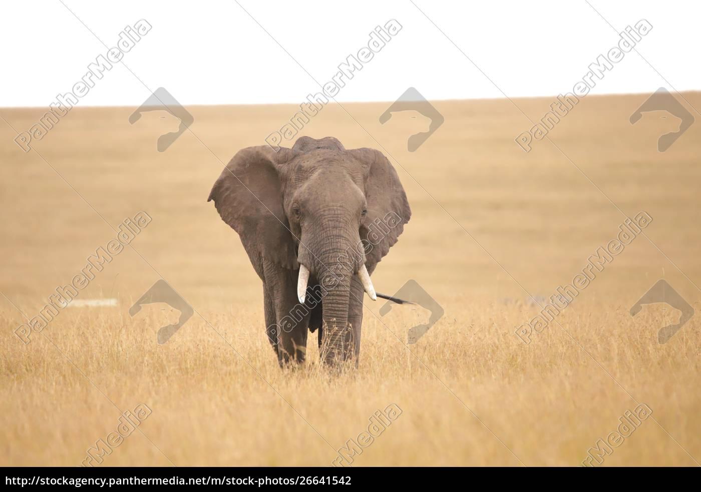 afrikanischer, elefant, in, der, savanne - 26641542