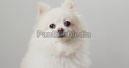 pommerischer hund ueber weissem hintergrund