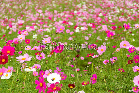 pink cosmos flower blooming in the