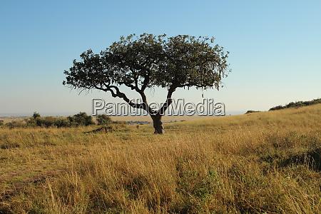 kigelia africana in kenya