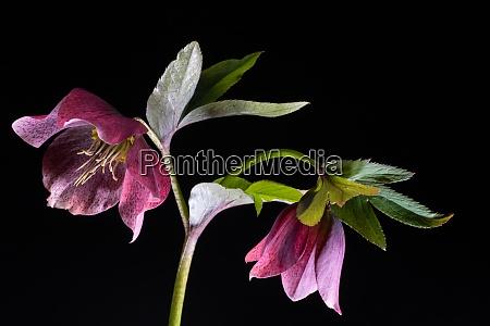 christrose lenzrose red lady helleborus