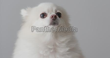 weisser pommerscher hund
