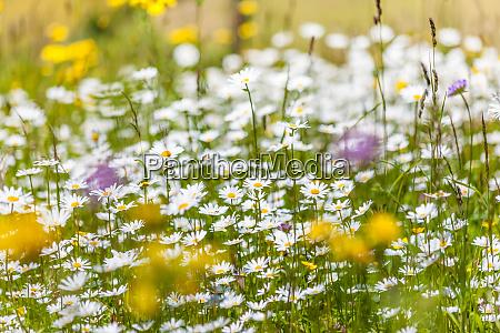summer mountain meadows in the rear