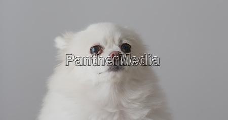 suesser pommerscher hund