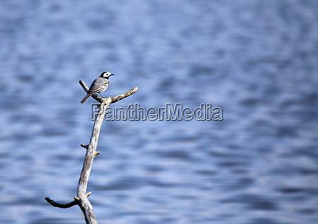 bachstelze motacilla alba im naturschutzgebiet wagbachniederung