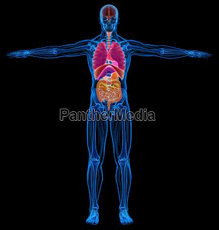 mensch skelett muskeln und innere organe
