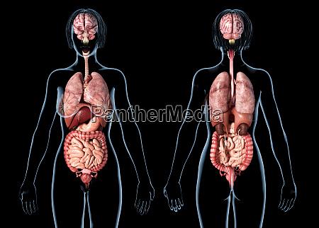 woman anatomy internal organs rear and